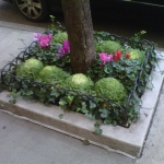 Kale_Cyclamen_in_street_tree_well[1]